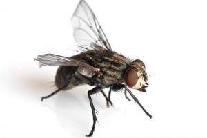 Pesky flies, password app